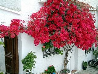 Andalucia bouganvilla@flickr.com