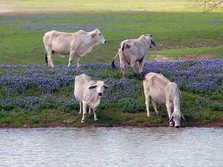 Cows wildflowers@texasscapes