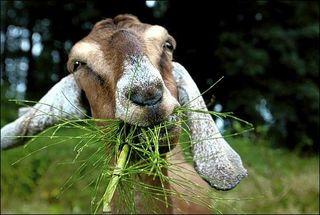 Goat_eatin@free-extras.com