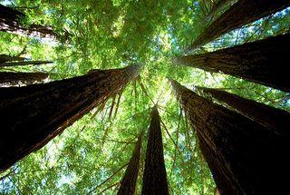 Redwoods@treehugger