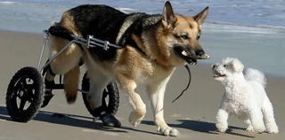 Dog wheelchair@petsafetyblog.com
