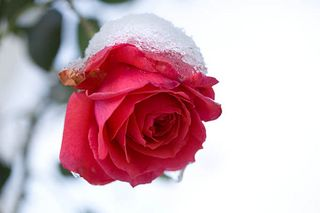 Snow rose hot pink @flickr.com