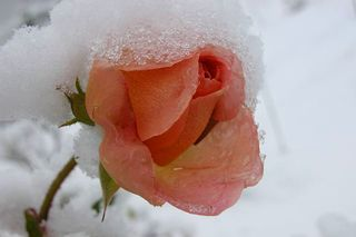 Snow rose peach@my.opera.com
