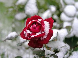 Snow rose@coverlaydown.com