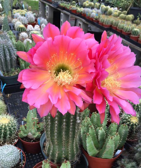 Cactus Blooms | BohoCircus