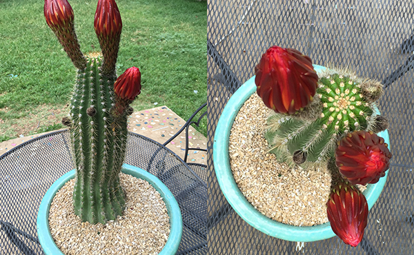 Cactus buds | BohoCircus blog